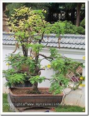 Bonsai Garden - Tamarind